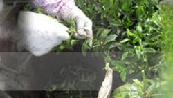 高香園はお茶つみさんが手摘みしています