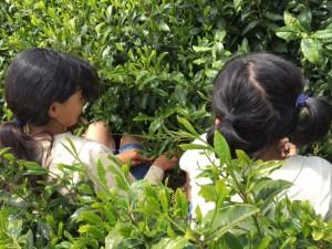 煎茶(深蒸し茶)の手摘み