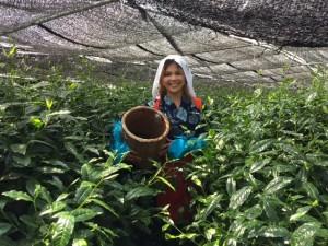 茶摘み体験で茶娘・かすりの着物