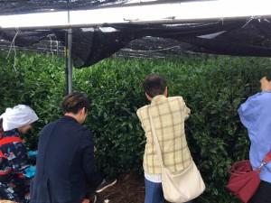 自然仕立て茶園にてお茶摘み体験