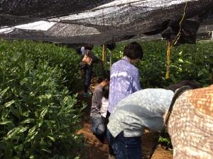 自然仕立て手摘み茶園にて お茶摘み体験