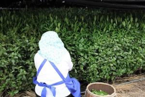 自然仕立て 手摘み茶園