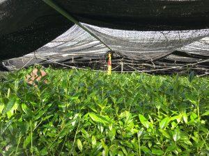 あさつゆ 自然仕立て茶園